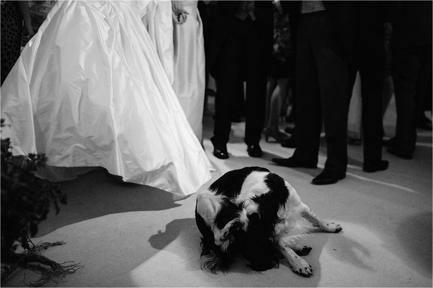 Spaniel on the dancefloor at Cheshire marquee wedding