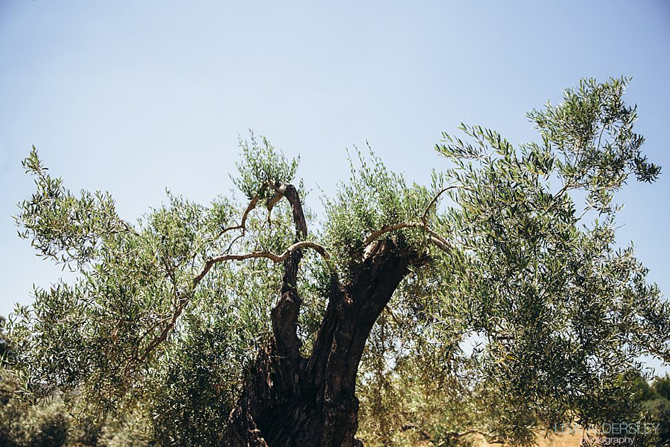 Olive tree and Fazenda Nova in Portugal