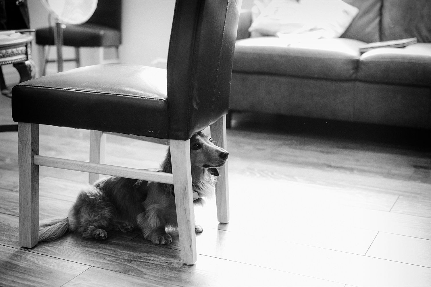 Dachshund under kitchen chair prior to Cheshire wedding